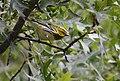 Black-throated Green Warbler (30268245127).jpg