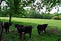 Black Cattle by Hamper's Lane - geograph.org.uk - 1288223.jpg