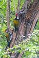 Black Rumped Flameback Woodpecker, Salt Lake Canal Side, Kolkata 2.jpg