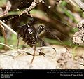 Black Widow (Theridiidae, Latrodectus spp.) (25790526914).jpg
