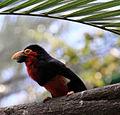 Black and red Barbet 2 (3311702583).jpg