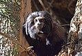 Black lion tamarin Pontal do Paranapanema 9.jpg