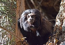 Black lion tamarin Pontal do Paranapanema 9.jpg