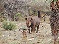 Black rhino (6880954781).jpg