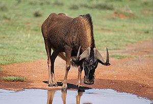 Black wildebeest, or white-tailed gnu, Connochaetes gnou at Krugersdorp Game Reserve, Gauteng, South Africa (31377863465).jpg
