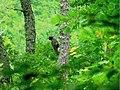 Black woodpecker, Dryocopus martius.JPG