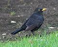 Blackbird in Madrid (Spain) 01.jpg