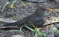 Blackbird in Madrid (Spain) 22.jpg
