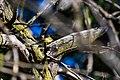 Blackpoll warbler (37299418580).jpg