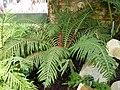 Blechnum moorei in Jardin des plantes Paris 1.jpg