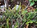Blechnum penna-marina in Aoraki Mount Cook NP 03.jpg