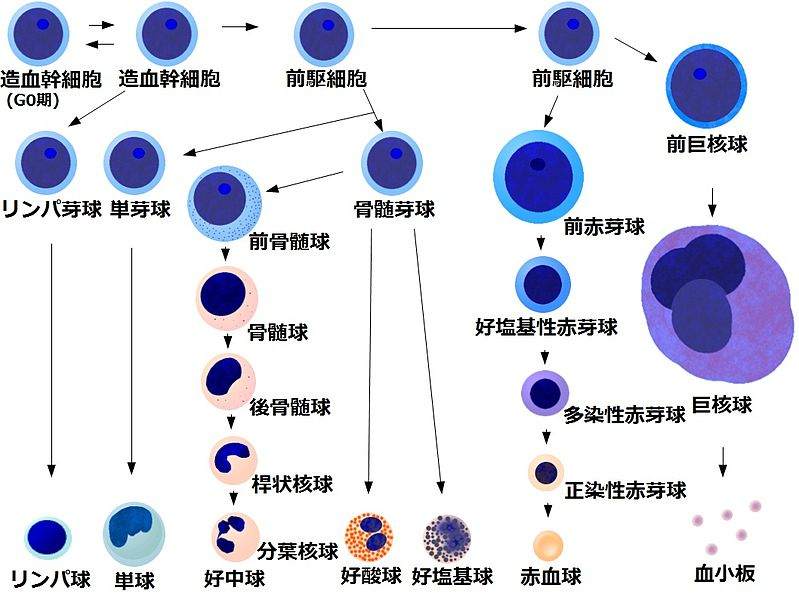 ファイル:Bloodcelldifferentiationchart(Japanese).jpg