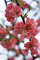 Blossom (3363199289).jpg