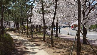 Ansan - Blossoms near Ansan Canal