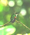 Blue-capped Hummingbird.jpg