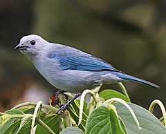 240px blue gray tanager jcb