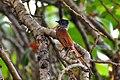 Blyth's paradise flycatcher Trending star 04.jpg
