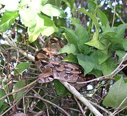 Boa constrictor in natural habitat