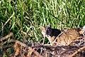 Bobcat in the Santa Monica foothills. (14534364089).jpg