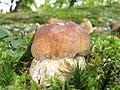 Boletus edulis (29436527964).jpg