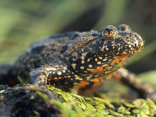 Dark-colored toad facing left