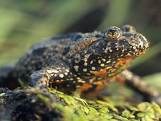 Frog - European fire-bellied toad (Bombina bombina)