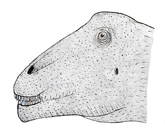 Bonitasaura - Illustration of the head