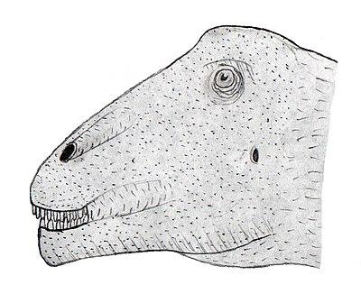 Bonitasaura head.jpg