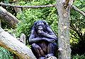 Bonobo 01.jpg