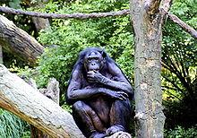 Les antidépresseurs et anxyolitiques (chien/chiot) 220px-Bonobo_01
