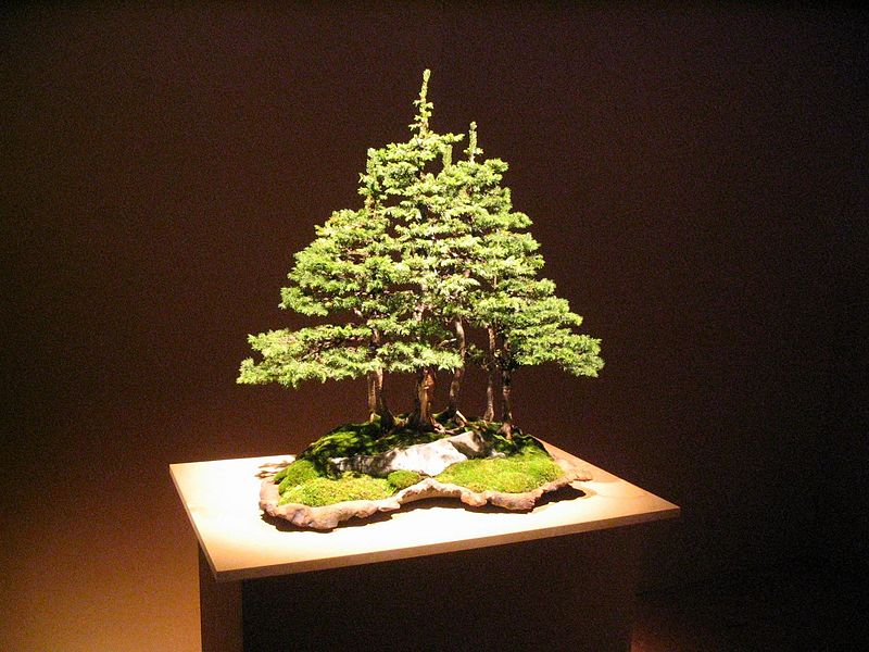 File:Bonsai IMG 6397.jpg
