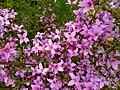 Boronia ledifolia flowers 1.jpg