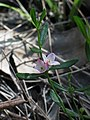 Boronia polygalifolia.jpg