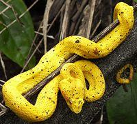 Serpent jaune