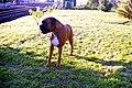 Boxer Dog (14284519887).jpg