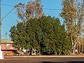 Brachychiton populneus Herbert St Boulia Central Western Queensland P1080644.jpg