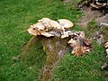 Bracket fungus - geograph.org.uk - 199042.jpg