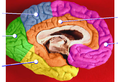 Brain lobes - medial surface.png