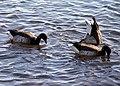 Brant-geese-milford-ct-20181225.jpg
