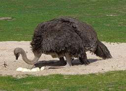 Breeding Ostrich Berlin.jpg