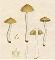 Bresadola - Inocybe geophylla var lutescens.png