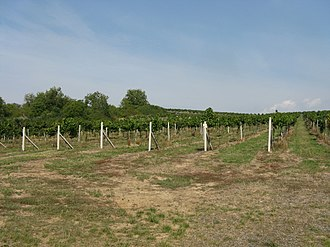 Viticulture - Vineyard in Brhlovce, Slovakia.