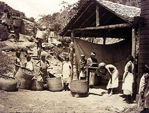 Darjeeling - Bringing in the Darjeeling tea harvest, circa 1890.