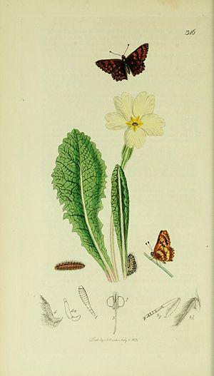 Hamearis lucina - Illustration from John Curtis's British Entomology Volume 5