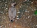 Bronze-winged Courser (Rhinoptilus chalcopterus) (6045911110).jpg