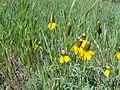 Brown coneflower.jpg