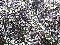 Brunfelsia uniflora in Porto Alegre 2013-09-14.jpg