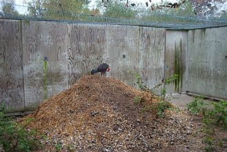 Megapode - Australian brushturkey on its mound