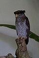 Bubo sumatranus -Kuala Lumpur Bird Park, Malaysia-8a.jpg