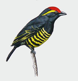 Yellow-spotted barbet - Image: Buccanodon duchaillui